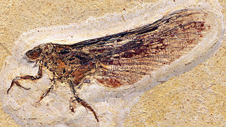 Mayfly - Fossil adult Mickoleitia longimanus (Coxoplectoptera: Mickoleitiidae) from the Lower Cretaceous Crato Formation of Brazil, c. 108 mya