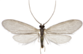 Micrasema setiferum male.png
