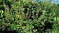 Mimosa ceratonia L. var. pseudo-obovata (Taub.) Barneby (14882828263).jpg