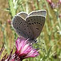 Mission Blue Butterfly (endangered) (5114226762).jpg
