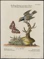 Mniotilta chrysoptera - 1700-1880 - Print - Iconographia Zoologica - Special Collections University of Amsterdam - UBA01 IZ16300023.tif