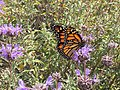 Monarch-butterfly-sage.jpg
