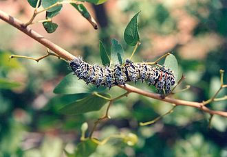 Mopane - Mopane worm on a mopane branch. Immediately below the caterpillar, a pair of distinctive, butterfly-shaped leaves have survived.