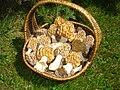 Morchella esculata DSC01089.JPG
