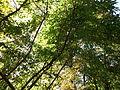 Morris Arboretum Lindera salicifolia.JPG
