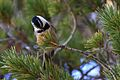 Mountain Chickadee May Lake Yosemite 1.jpg