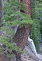 Mountain hemlock Tsuga mertensiana curved trunk.jpg