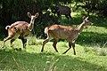 Mountain nyala, Bale Mountains National Park (20) (29291018305).jpg