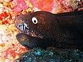 Mouth of the Black Moray Eel - Muraena augusti.jpg