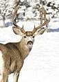 Mule buck elk creek x myatt (5489214863).jpg