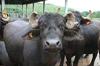 Murrah buffalo Indian breed of water buffalo