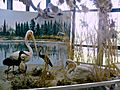 Museum of Natural History in Nicosia - Waterbirds by the salty lake near Larnaca.JPG