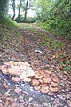 Mushroom Colonies on a footpath near Drovers - geograph.org.uk - 1536558.jpg