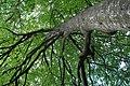 Mykulyntsi-buky-n2-15056869.jpg