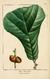 NAS-020 Quercus marilandica.png