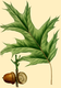 NAS-028g Quercus rubra.png
