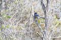 NASA Kennedy Wildlife - Florida Scrub Jay (6).jpg