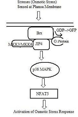 NFAT5 - Pathway of NFAT5-Mediated Osmotic Response Activation. Upon an osmotic stress signal, Brx, localized at the cell membrane, is activated and recruits JIP4, a p38 MAPK-specific scaffold protein. JIP4 binds to downstream kinases, MKK3 and MKK6, and activates p38 MAPK. p38 MAPK is necessary for naft5 expression.