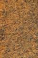 Nadeln der Europäischen Lärche, Larix decidua 2.JPG