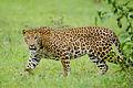 Nagarhole Kabini Karnataka India, Leopard September 2013.jpg