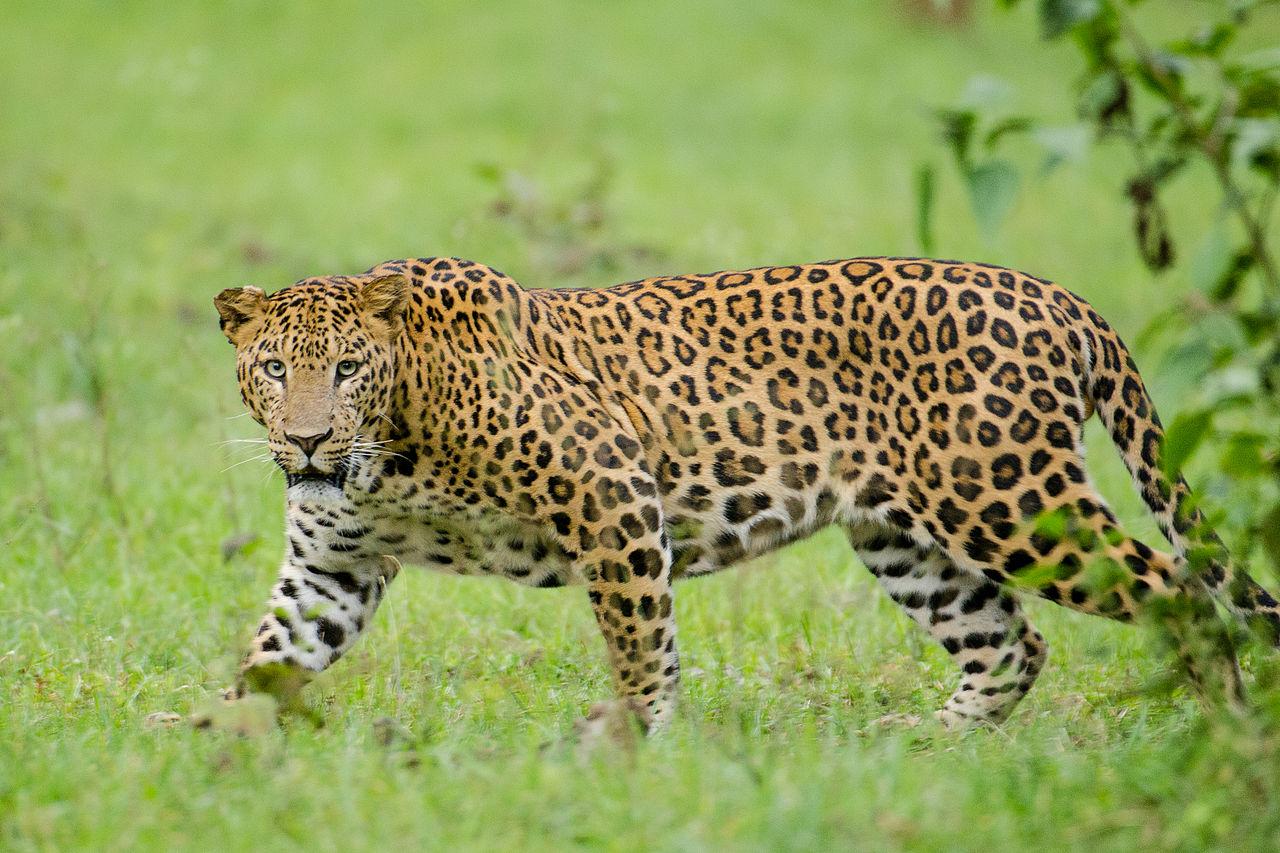 File:Nagarhole Kabini Karnataka India, Leopard September