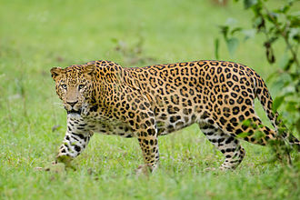 Indian leopard - Indian leopards have large black rosettes