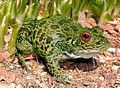 Nagooche-frogfemale12.jpg