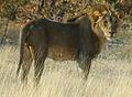 Namibie Etosha Lion 01.JPG