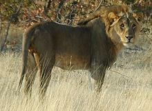 Le Lion et l'histoire dans LION