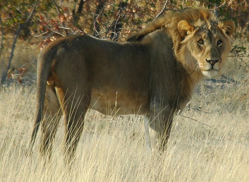 File:Namibie Etosha Lion 01.JPG