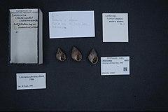 240px naturalis biodiversity center   rmnh.mol.159907   littoraria subvittata reid, 1986   littorinidae   mollusc shell