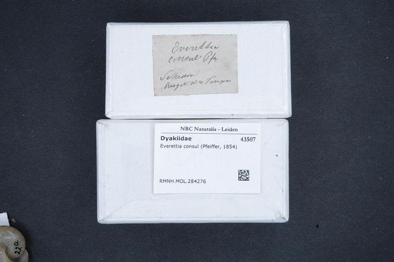 File:Naturalis Biodiversity Center - RMNH.MOL.284276 1 - Everettia consul (Pfeiffer, 1854) - Dyakiidae - Mollusc shell.jpeg
