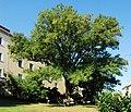 Naturdenkmal 561 GuentherZ 2011-08-26 0116 Wien12 Werthenburggasse9 Esche.JPG
