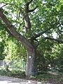 Naturdenkmal Stieleiche in Tulln 04.JPG