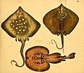 Naturgeschichte in Bildern mit erläuterndem Text (Taf. VI) (6059203420).jpg