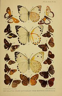 <i>Meza larea</i> species of insect