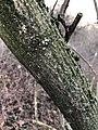 Nectria cinnabarina 58929715.jpg