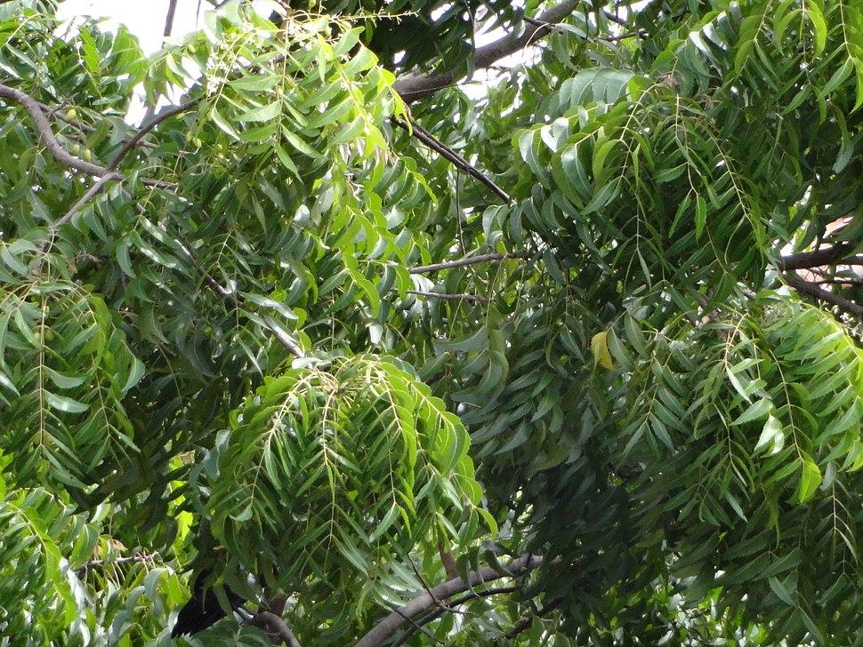 Neem Tree For Sale