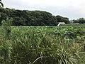 Nelumbo nucifera in north moat of Fukuoka Castle 21.jpg