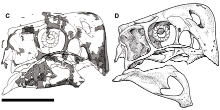 Preserved parts and reconstruction of specimen MPC-D 107/15's skull Nemegtomaia MPC-D 107-15 skull.png