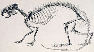 Caviomorpha - Neoreomys