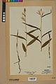 Neuchâtel Herbarium - Cephalanthera rubra - NEU000046828.jpg