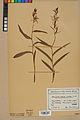 Neuchâtel Herbarium - Cephalanthera rubra - NEU000046829.jpg