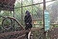 New Monkey Species from Sumatra 2.jpg
