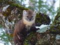 Newfoundland Pine Marten.jpg