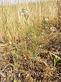 Nigella arvensis sl28.jpg