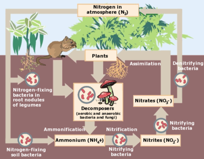 Nitrogen Cycle.png
