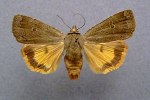Noctua (moth) - Image: Noctua comes.01