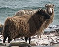 North ron sheep (cropped and mirrored).jpg