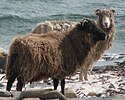 Two North Ronaldsay sheep